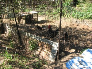 Chook pen to become permaculture vegie garden