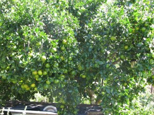 Mandarine tree in our Permaculture garden