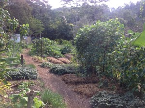 Kitchen garden at the Permaculture Research Institute Sunshine Coast, new beds on the right where a pumpkin vine was dug up.