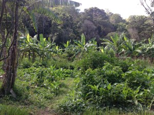 View into the food Forest at the permaculture Research institute Sunshine Coast, bananas in the background, arrowroot, sweet potato and pumpkin vines in the foreground.