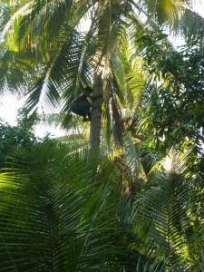 Kids climbing coconut trees in Bareo