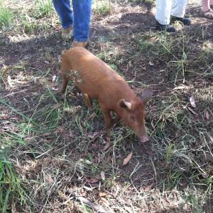 Tamworth pig, open day permaculture farm tour