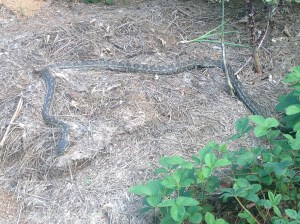 Our resident python in the garden at Maungaraeeda