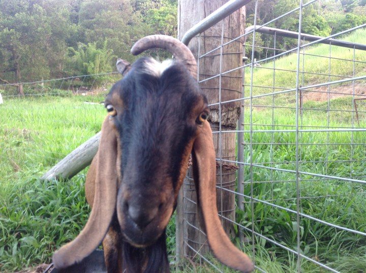 Angus Noble, our billy goat