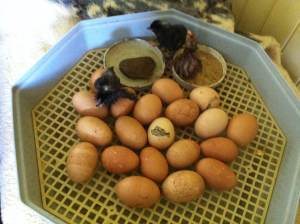 Chicken eggs hatching, little chicks at Tom and Zaia's permaculture property