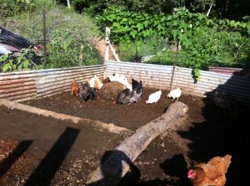 Chooks processing the biodigester slurry at Maungaraeeda, Tom and Zaia Kendall's permaculture farm