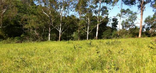 Little guava trees to be cut for goat forage at Tom and Zaia Kendall's permaculture farm