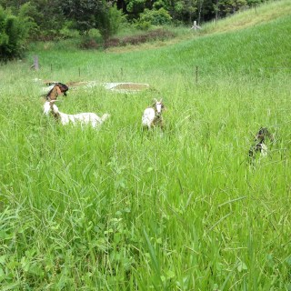 Tom Kendalls goats are introduced to a new paddock at Maungaraeeda.