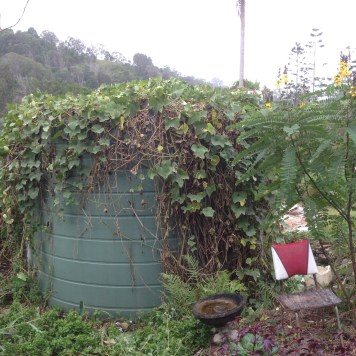 Choko vine on the rain water tank