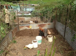 Tom Kendall tills his chicken tractor cell at Maungaraeeda.