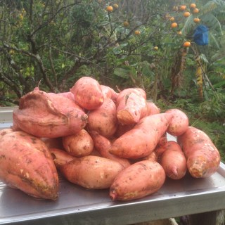 Tom Kendall harvests sweet potato at Maungaraeeda.