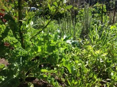 Mixed greens and herbs in the permaculture garden, diy food and health
