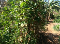 Abundant madagascar bean bush in the permaculture garden at Maungaraeeda, diy food and health