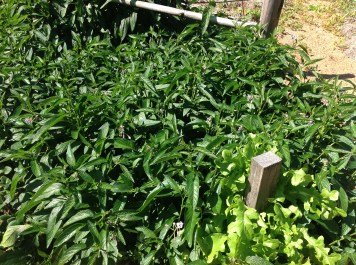 Pepino folage in the garden, diy food and health