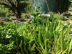 Aloe vera and brazilian spinach in the permaculture garden at Maungaraeeda, diy food and health