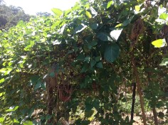 Madagascar bean vine in the permaculture garden at Maungaraeeda, diy food and health