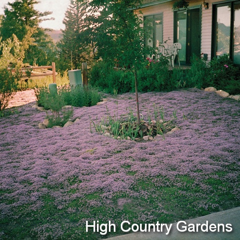 tips thyme lawn forum