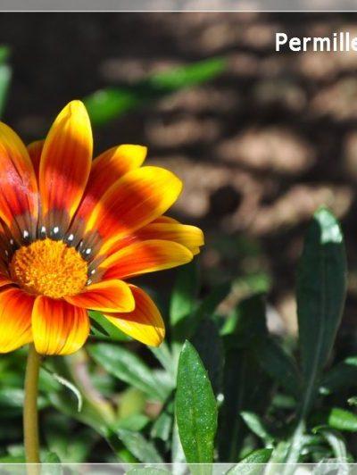 Fiore del Mediterraneo (foto)