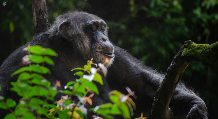 Recife: Chimpanzé do Parque Dois Irmãos vai comemorar 62 anos no próximo domingo (18)