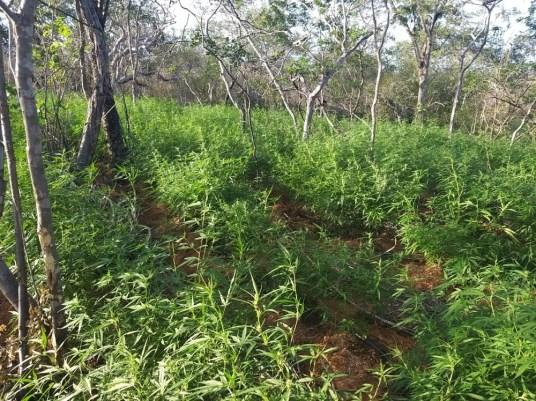 Agricultor é preso cultivando mais de 6 mil pés de maconha em Parnamirim
