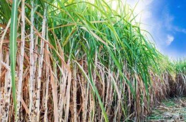 Alagoanos encontrados mortos em engenho da zona  rural de Xexéu