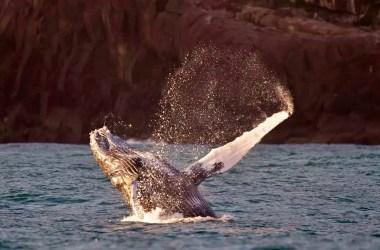 Baleias jubarte são vistas em Ilha Bela, litoral Norte de São Paulo