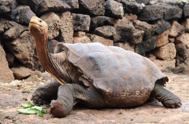 Tartarugas gigantes de Galápagos voltam para casa após ajudarem a salvar espécie