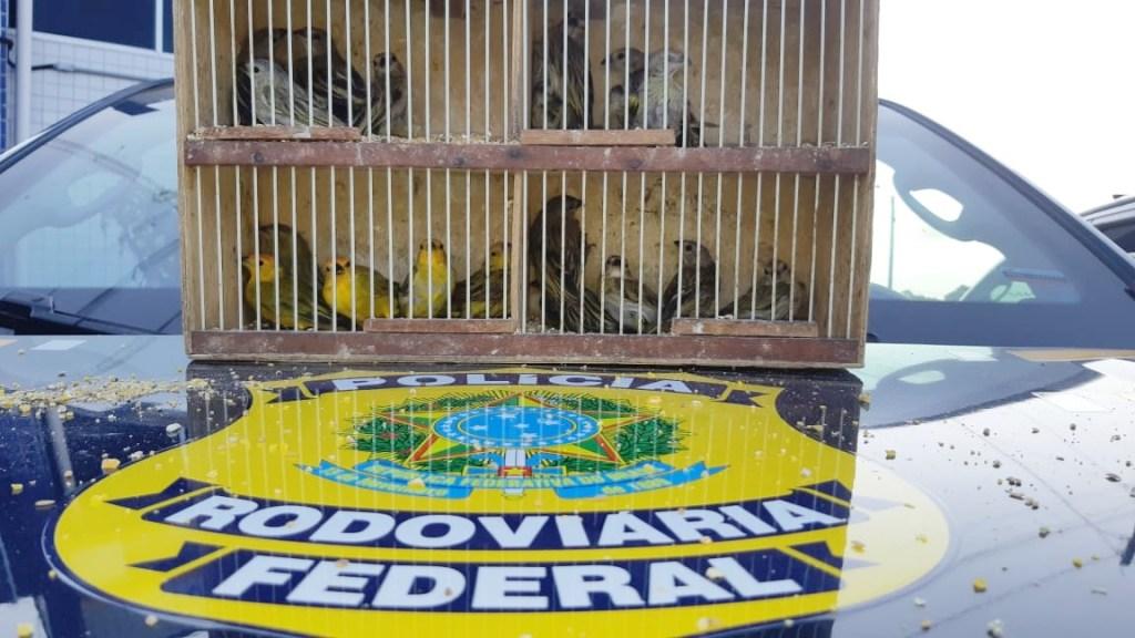 Fiscalização apreende 22 canários-da-terra dentro de porta-malas em Gravatá