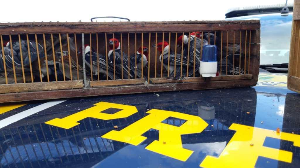 PRF apreende 20 pássaros silvestres na BR 232, em Pesqueira