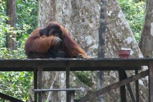 Orangutany raz zabrane naturze nigdy do niej całkowicie nie wracają. (Fot. Justyna Rybak)