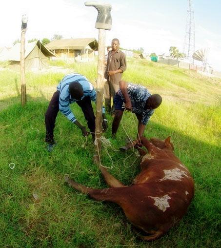 Tutejsze gatunki należą do bydła wielkorogiego z garbem i najbardziej pożądane są właśnie okazy z nieprawdopodobnie rozłożystymi rogami. (Fot. Jakub Pająk)