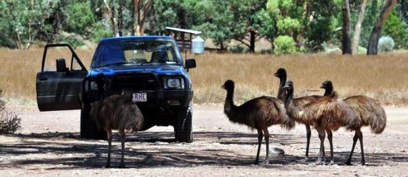 Outback w Australii - ciekawskie emu