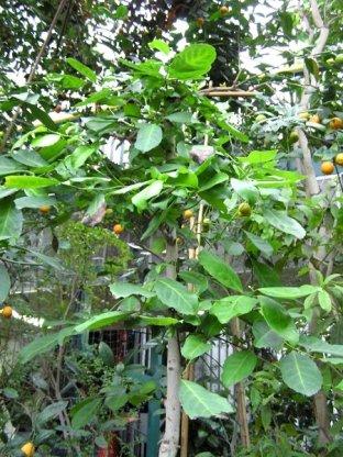 Jedyny okaz Ostrokrzewu paragwajskiego można zobaczyć w gliwickim ogrodzie botanicznym. Niestety, jest za mały, żeby z jego liści zrobić yerbę. (Fot. Dariusz Koryto)