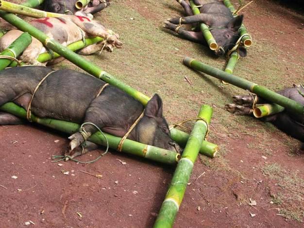 W trakcie pogrzebu na Tana Toraja w ofierze zabija się zwierzęta