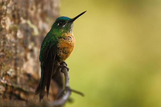 W Ameryce Południowej spotkać można kolibry