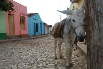 Osiołek w Cienfuegos na Kubie