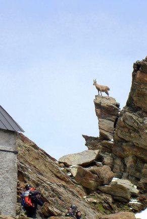 Kozica spotkana po drodze na Mont Blanc