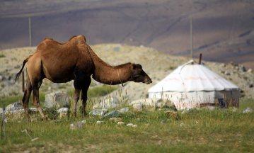 Wielbłąd i jurta - obrazek z Chin