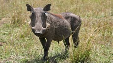 Guziec - taka świnia z afryki