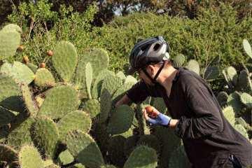 Owoce kaktusa