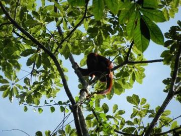 Małpa w dżungli. Zdjęcia z Peru