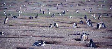 Chilijska Isla Magdalena - pingwiny