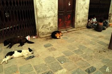 Śpiące w Kathmandu psy