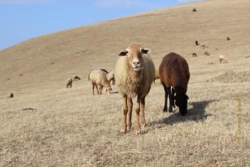 Owce się pasą w Azerbejdżanie