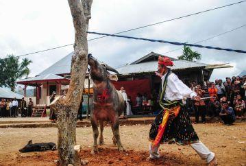 Tradycyjna ofiara z bawoła - zdjęcia z Indonezji