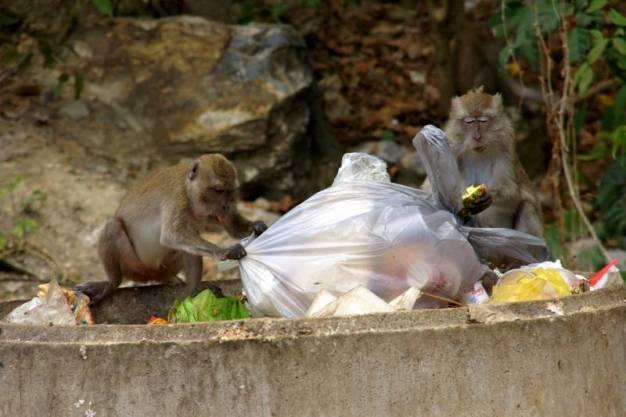 Makaki w Azji