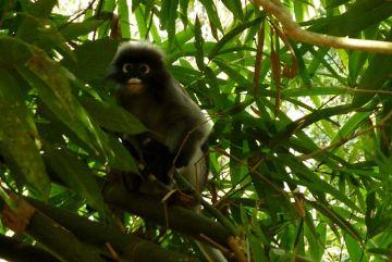 Langur okularowy - małpa spotkana w podróży po Tajlandii