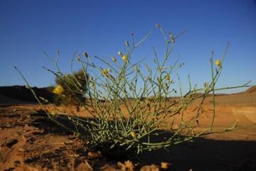 Rośliny Bliskiego Wschodu - zdjęcia przyrodnicze z Jordanii