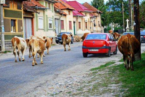 Górskie miasteczko w Rumunii z krowami na drodze