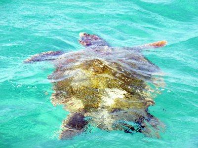 Żółw Caretta caretta na gfreckiej wyspie Zakinthos